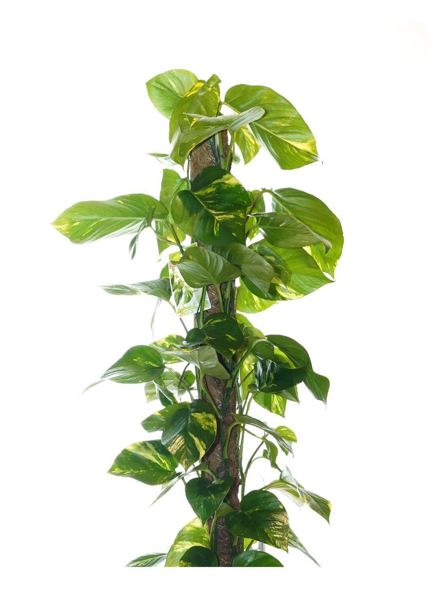 ايبريمنيوم أوريوم 'نباتات داخلية شجيرات