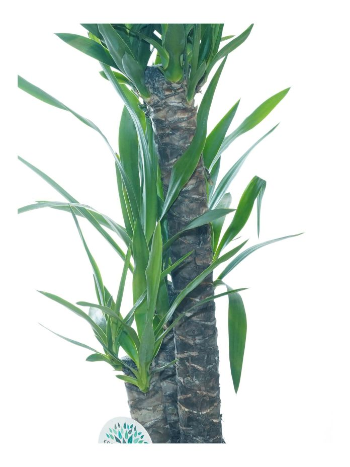 Yucca 'Indoor Plants Shrubs