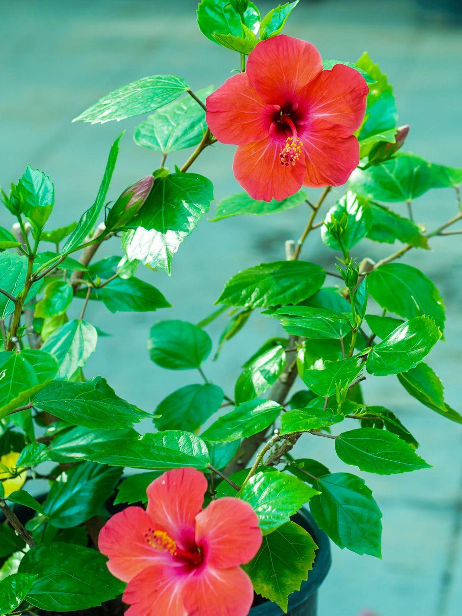 Hibiscus Red 'Outdoor Plants Flowering Plants