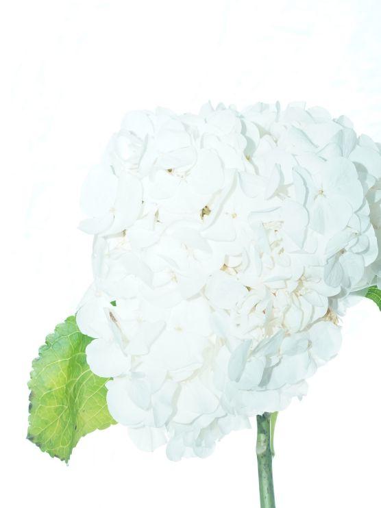 زهرة الهدرانج (أبيض) ' الزهور بالجملة زهور مقطوفة