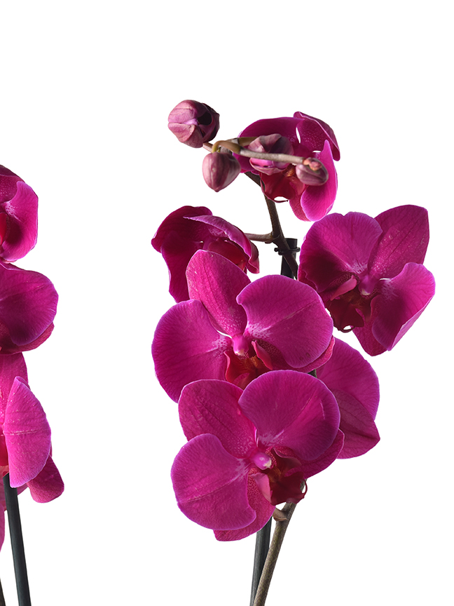 Orchid Phalaenopsis Purple Indoor Plants Flowering Plants