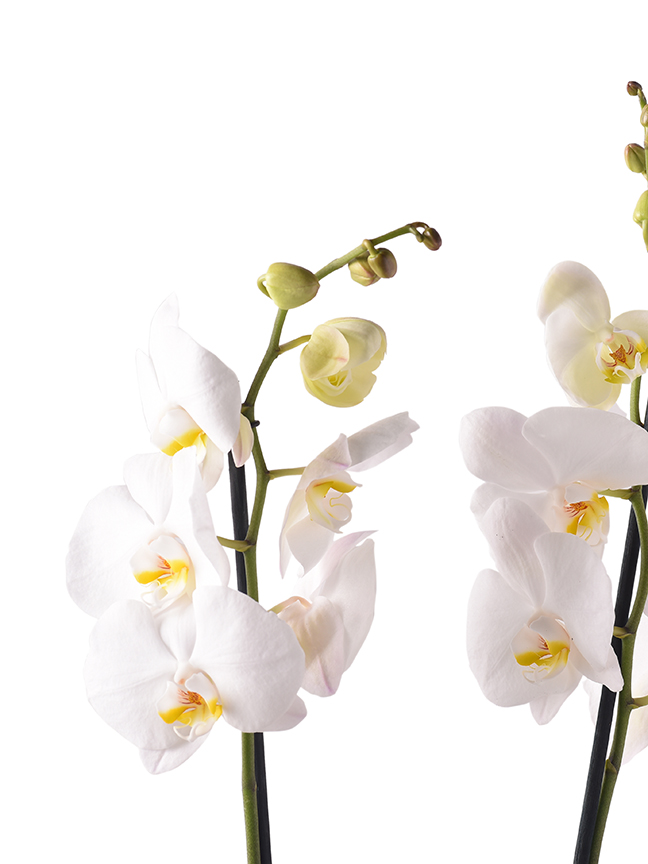 Orchid Phalaenopsis White Indoor Plants Flowering Plants