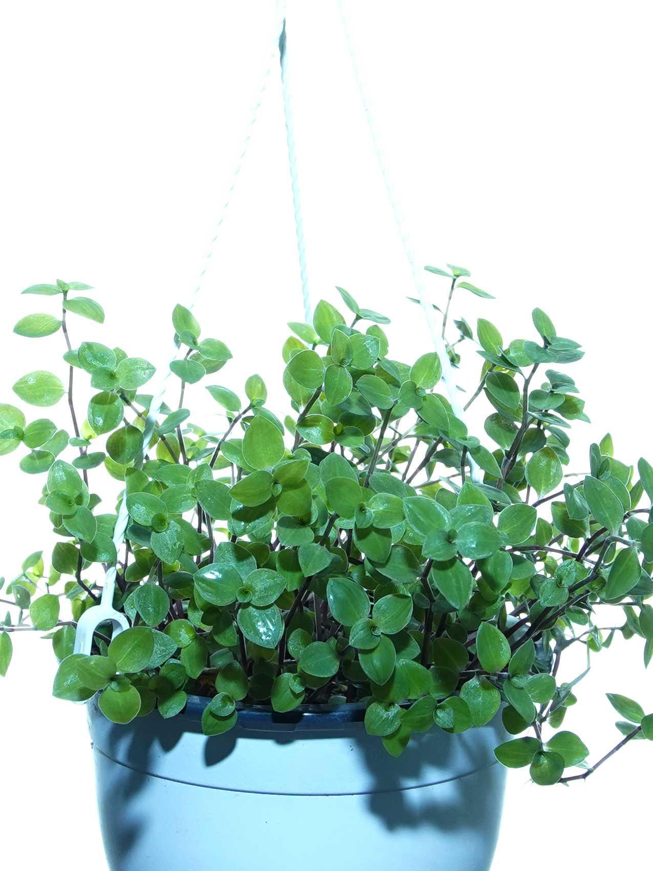 كاليسيا الزاحفة نباتات داخلية معلقة