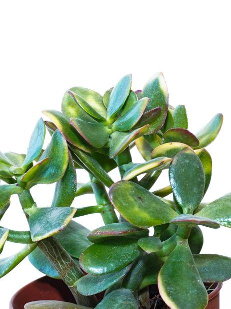 كراسولا بورتولاسيا نباتات داخلية عصاري