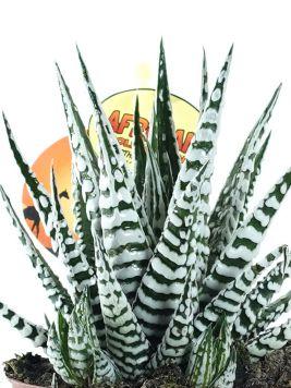 هاورثيافاسيتا زيبرا  'نباتات داخلية عصاري