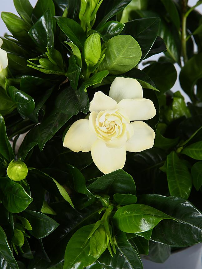 Gardenia Jasminoides Outdoor Plants Flowering Plants