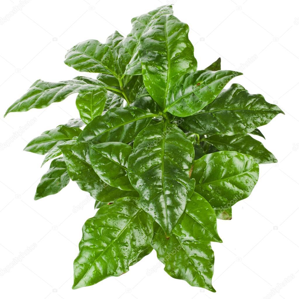 قهوة عربية نباتات داخلية شجيرات