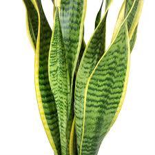 سانسيفيريا تريفاسياتا لورينتي نباتات داخلية عصاري