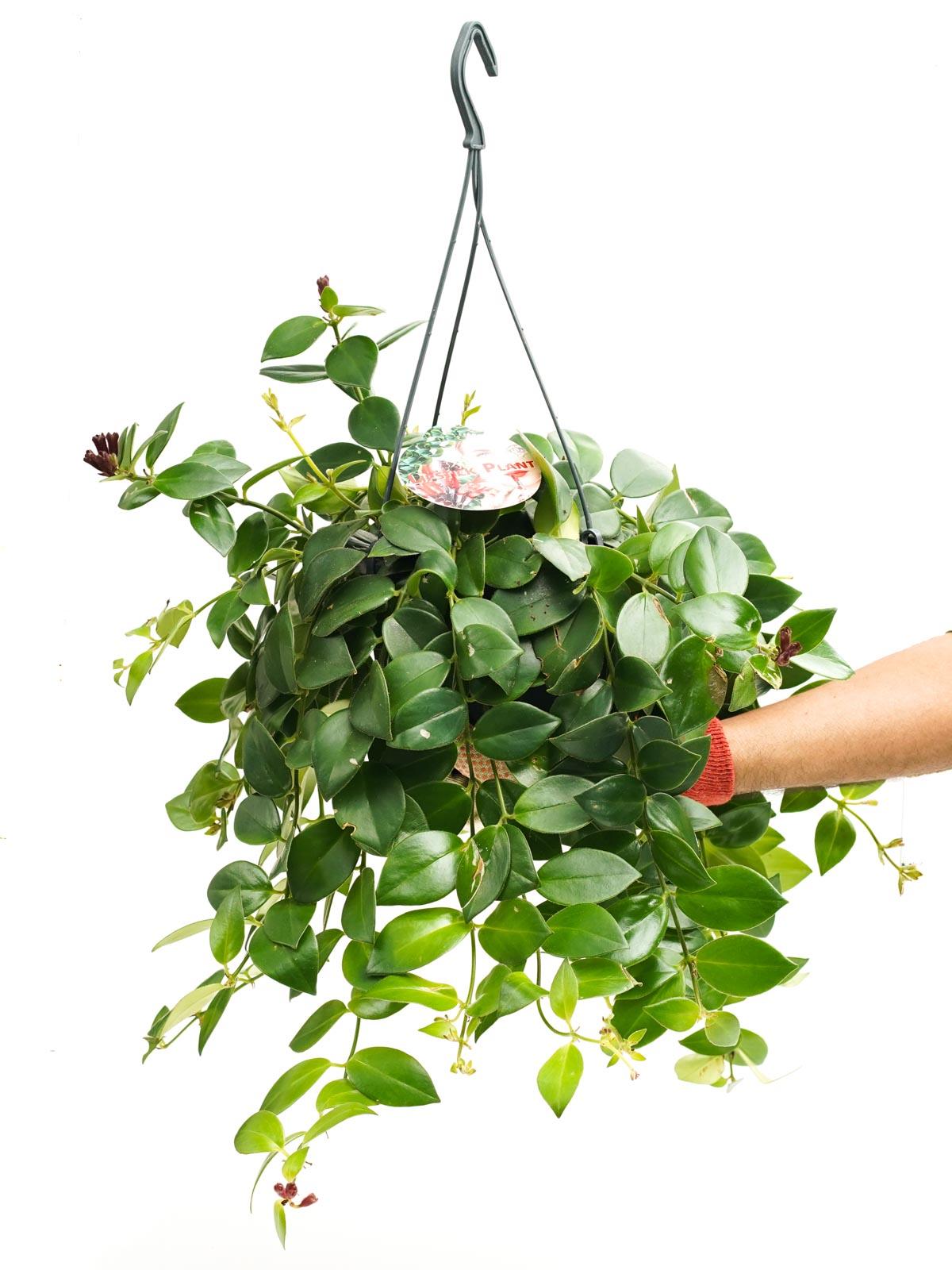 Aeschynanthus MonaLisa 'Indoor Plants Hanging