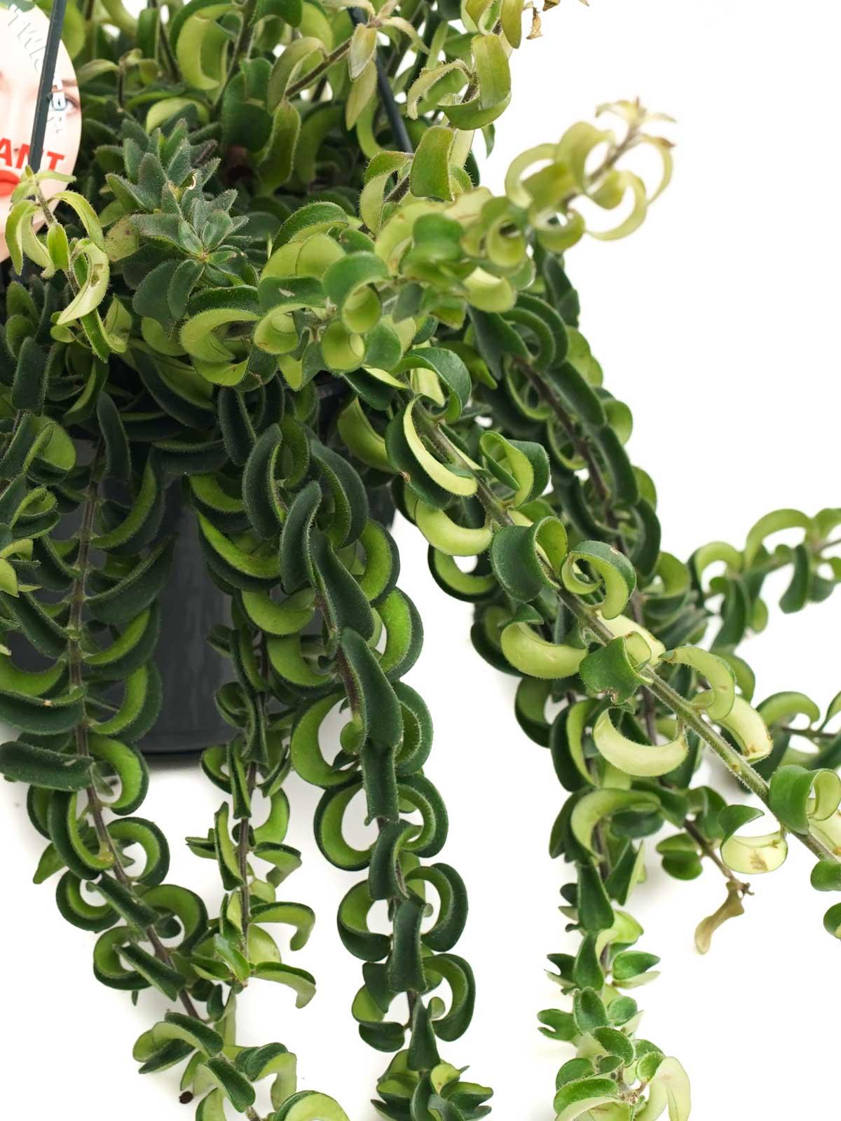 Aeschynanthus MonaLisa Curly 'Indoor Plants Hanging