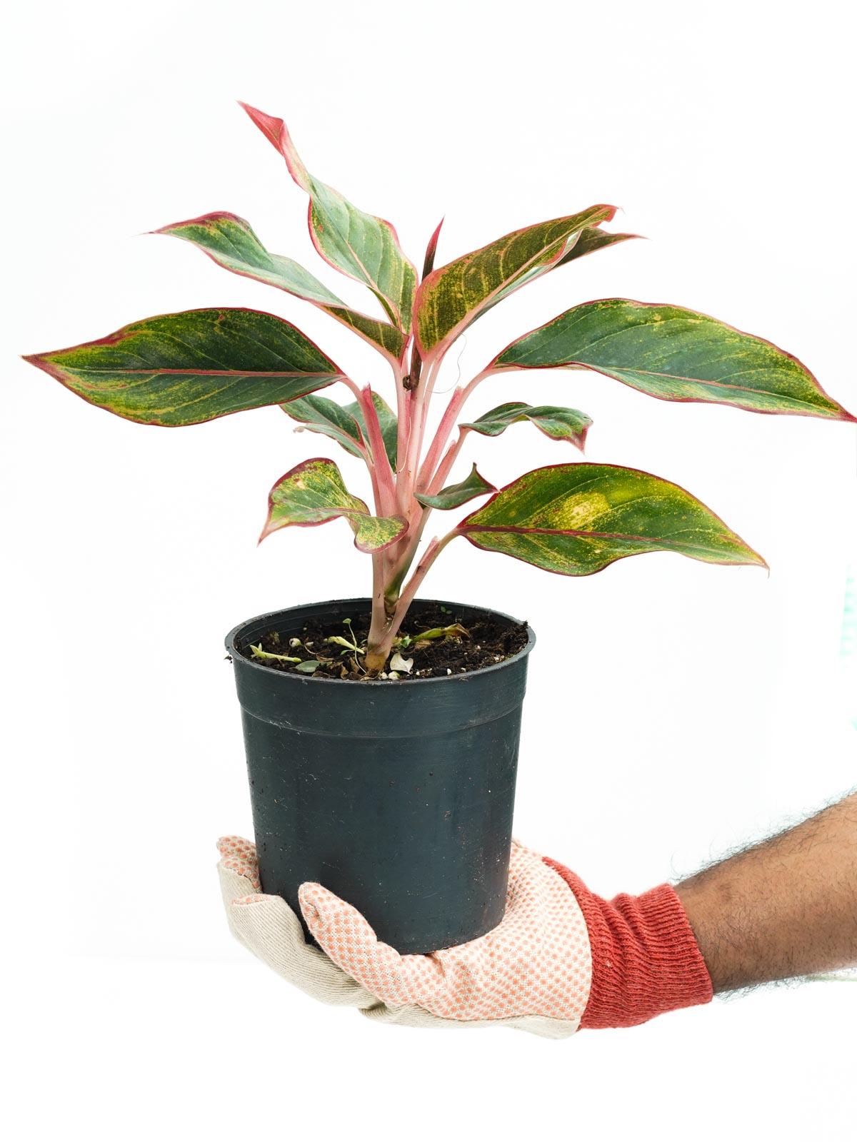 Aglaonema Red 'Indoor Plants Shrubs
