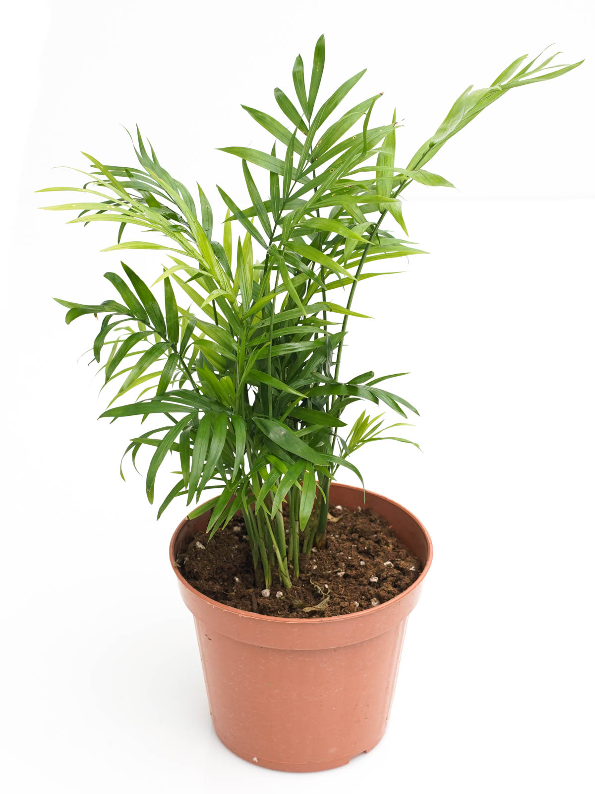 Chamaedorea Elegans Indoor Plants Shrubs