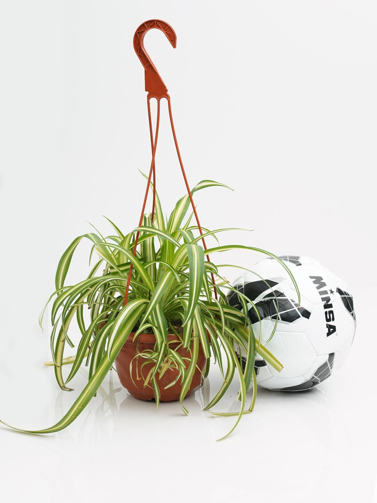 كلوروفيتوم نباتات داخلية معلقة