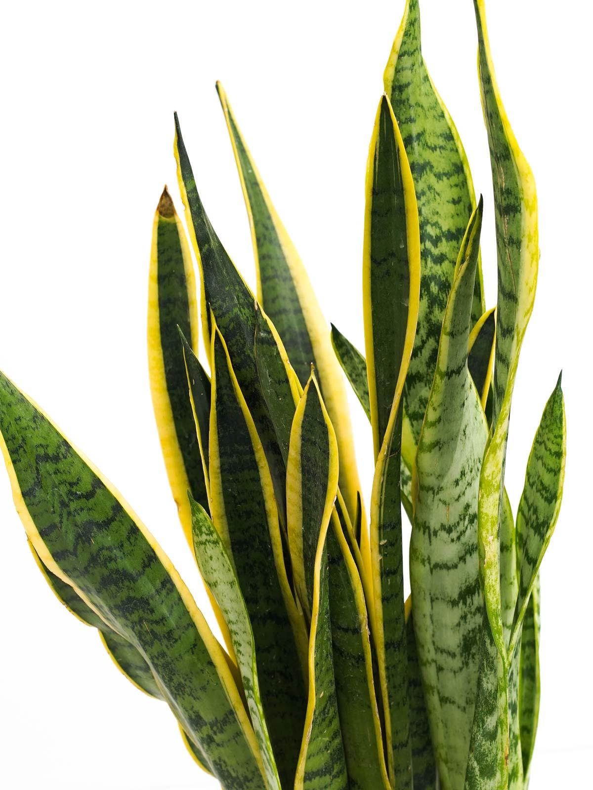 Sansevieria Trifasciata Laurenti  'Indoor Plants Succulent