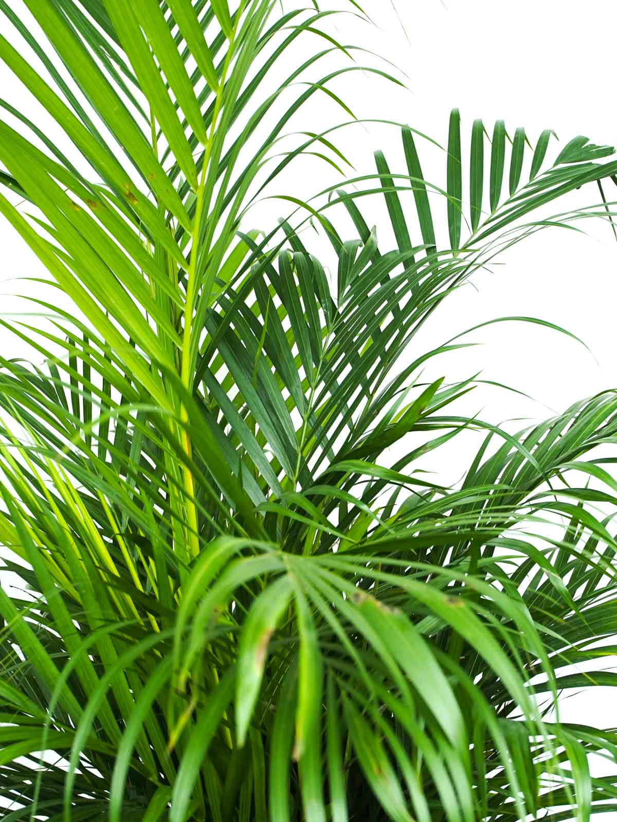 Areca Holland Indoor Plants Trees