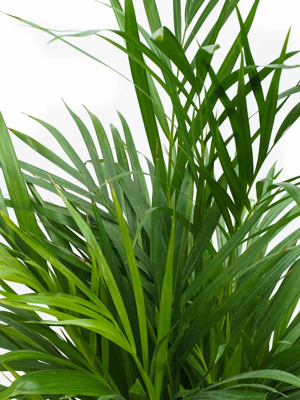 أريكا هولاند نباتات داخلية شجيرات