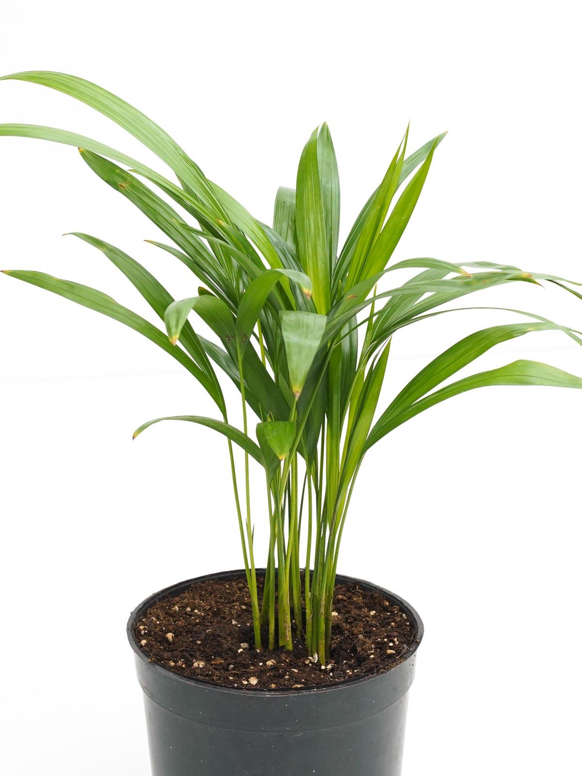 أريكا نباتات داخلية شجيرات