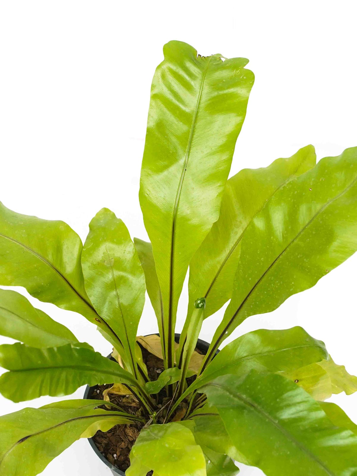Asplenium Nidus Indoor Plants Shrubs