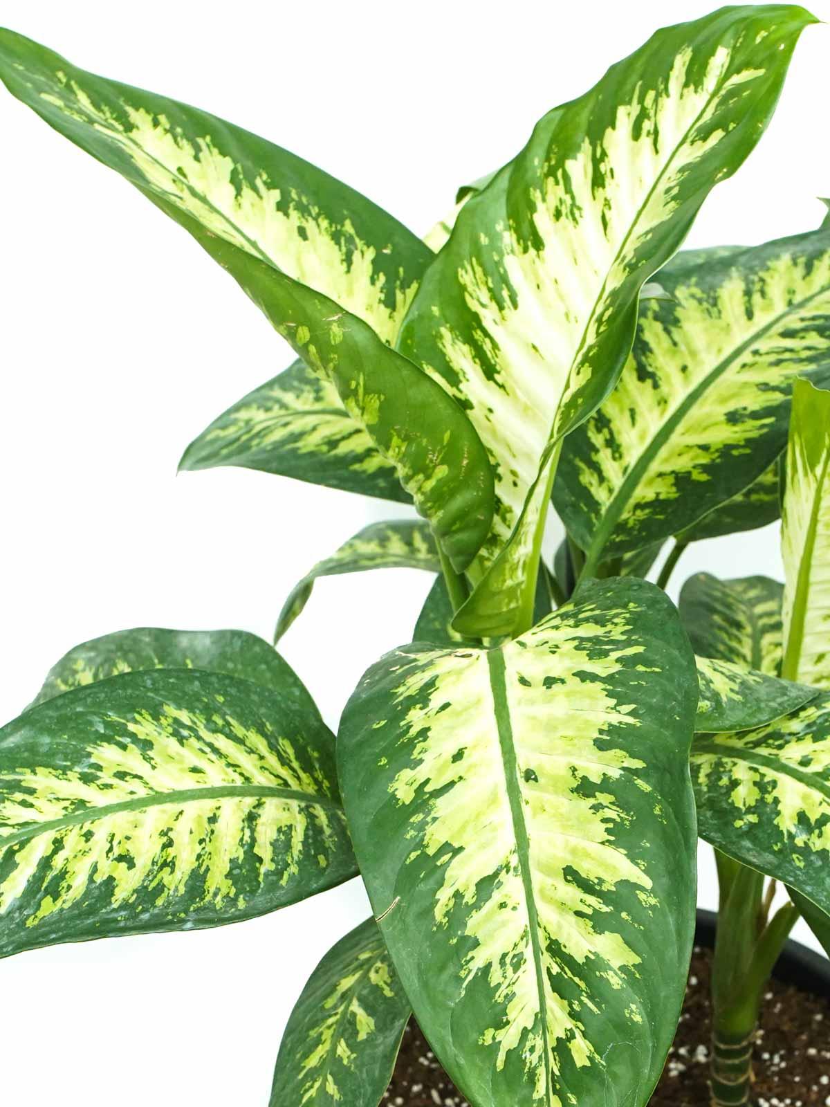 نبات الدفنبخيا تروبيك سنو 'نباتات داخلية شجيرات