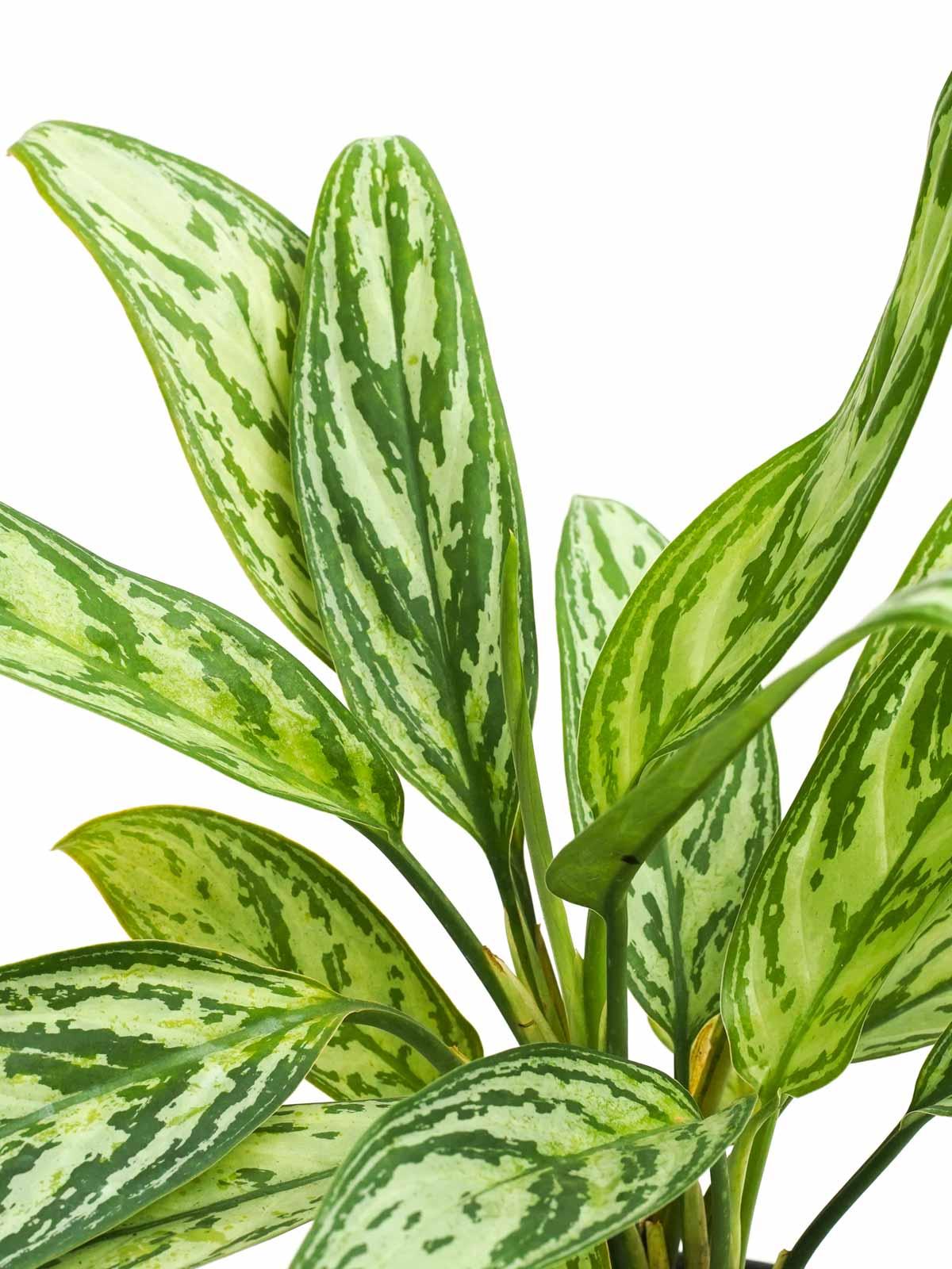 Aglaonema Silver Queen 'Indoor Plants Shrubs