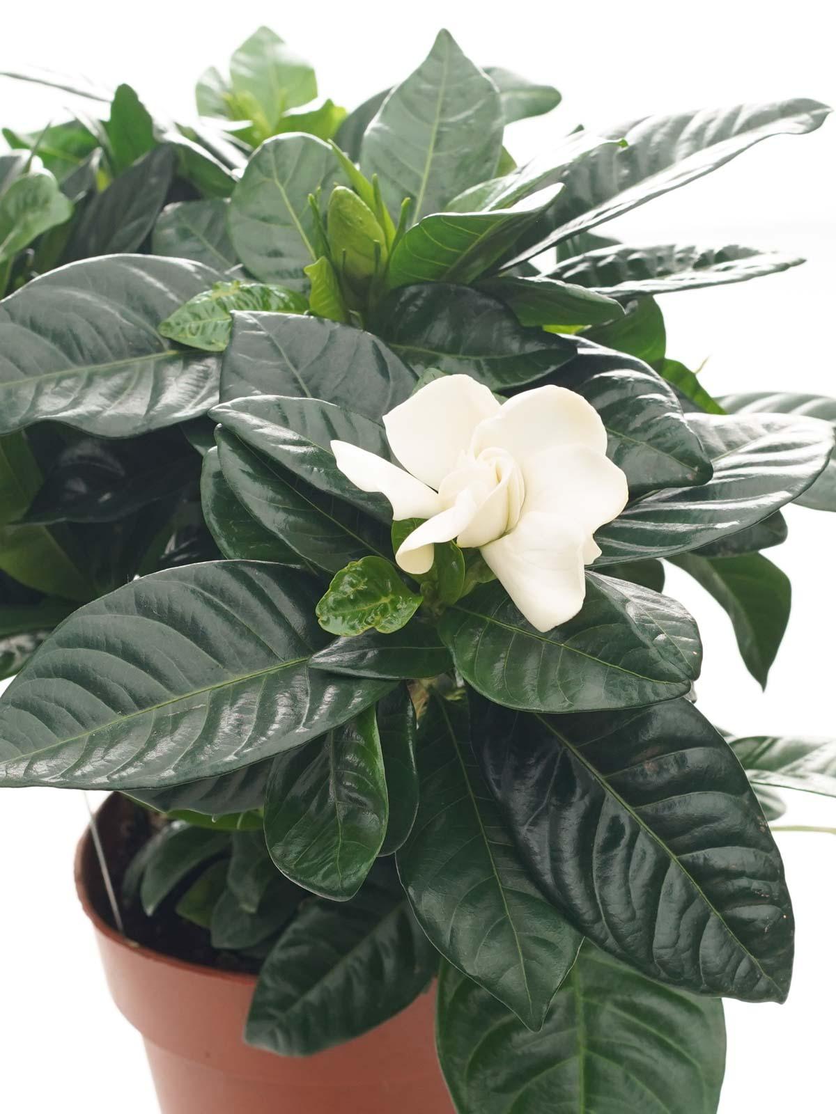 جاردينيا 'نباتات خارجية النباتات المزهرة
