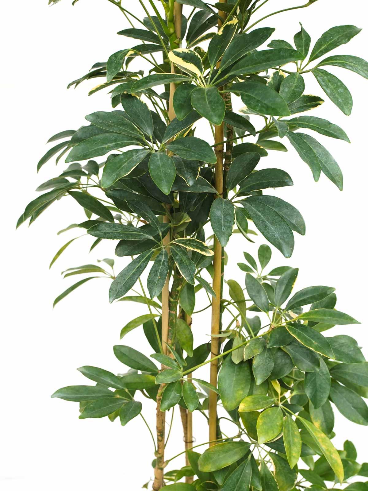 شيفليرا ذهبي و أخضر  نباتات داخلية شجيرات