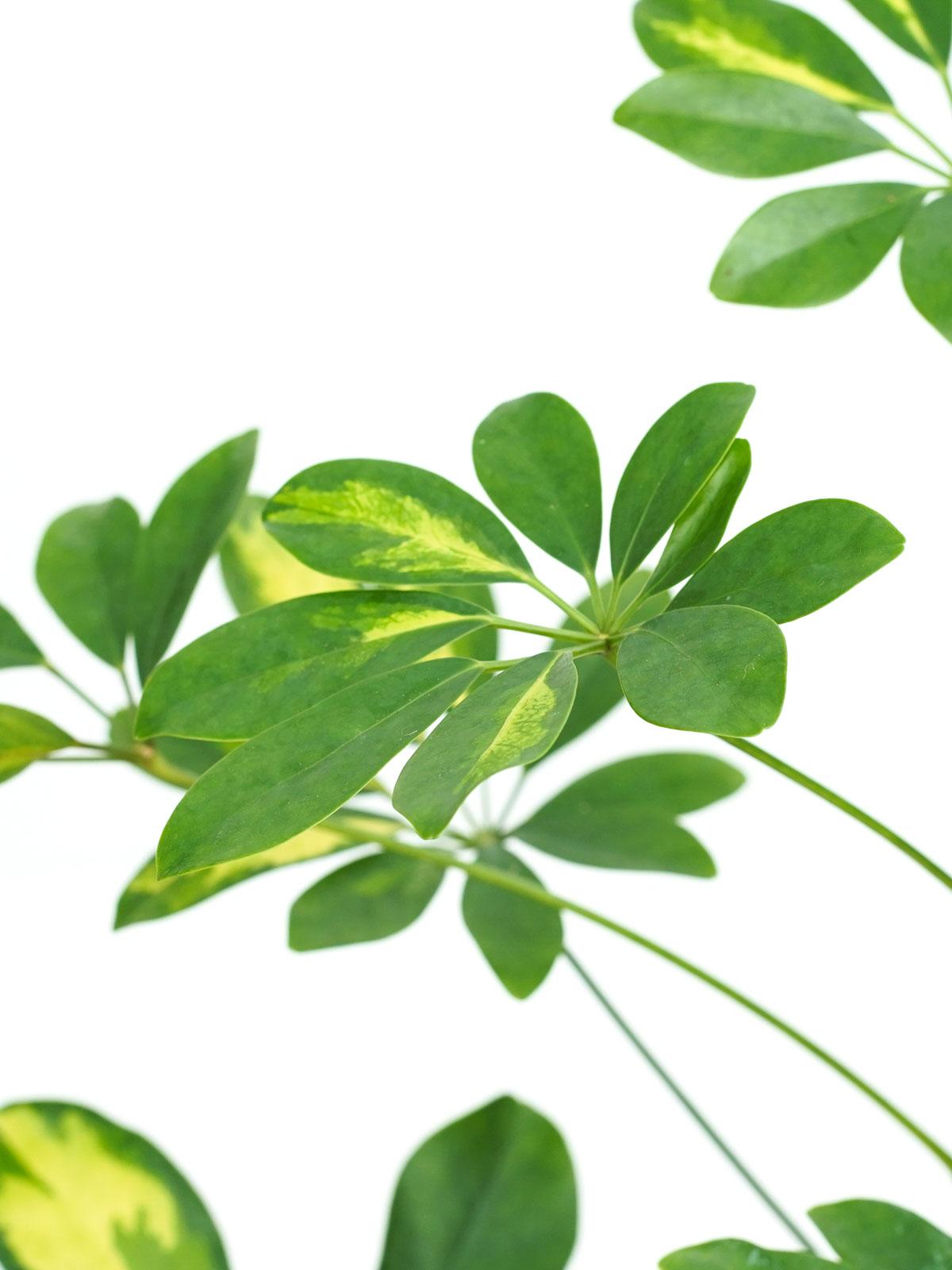Schefflera Gold & Green Indoor Plants Shrubs