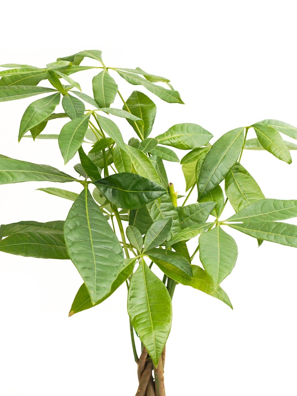 باتشيرا مجدلة صغيرة  'نباتات داخلية شجيرات