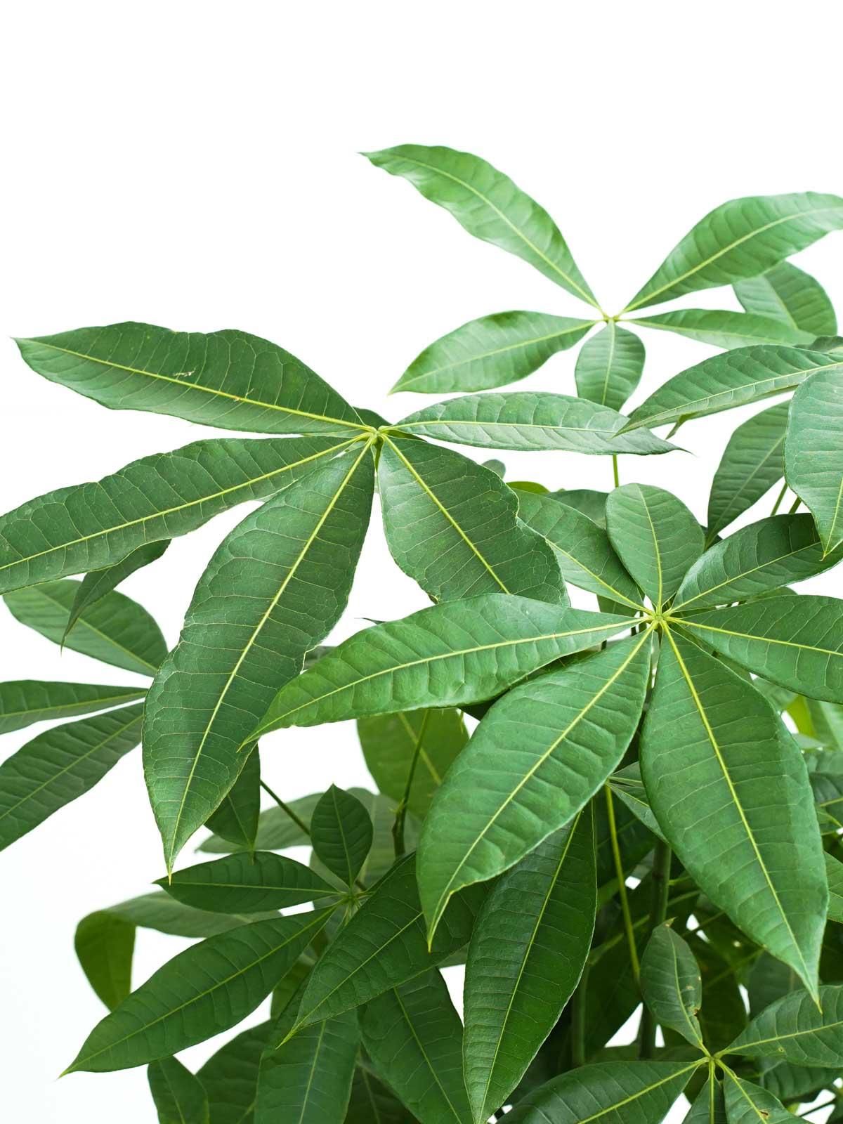 Pachira Braided  'Indoor Plants Trees
