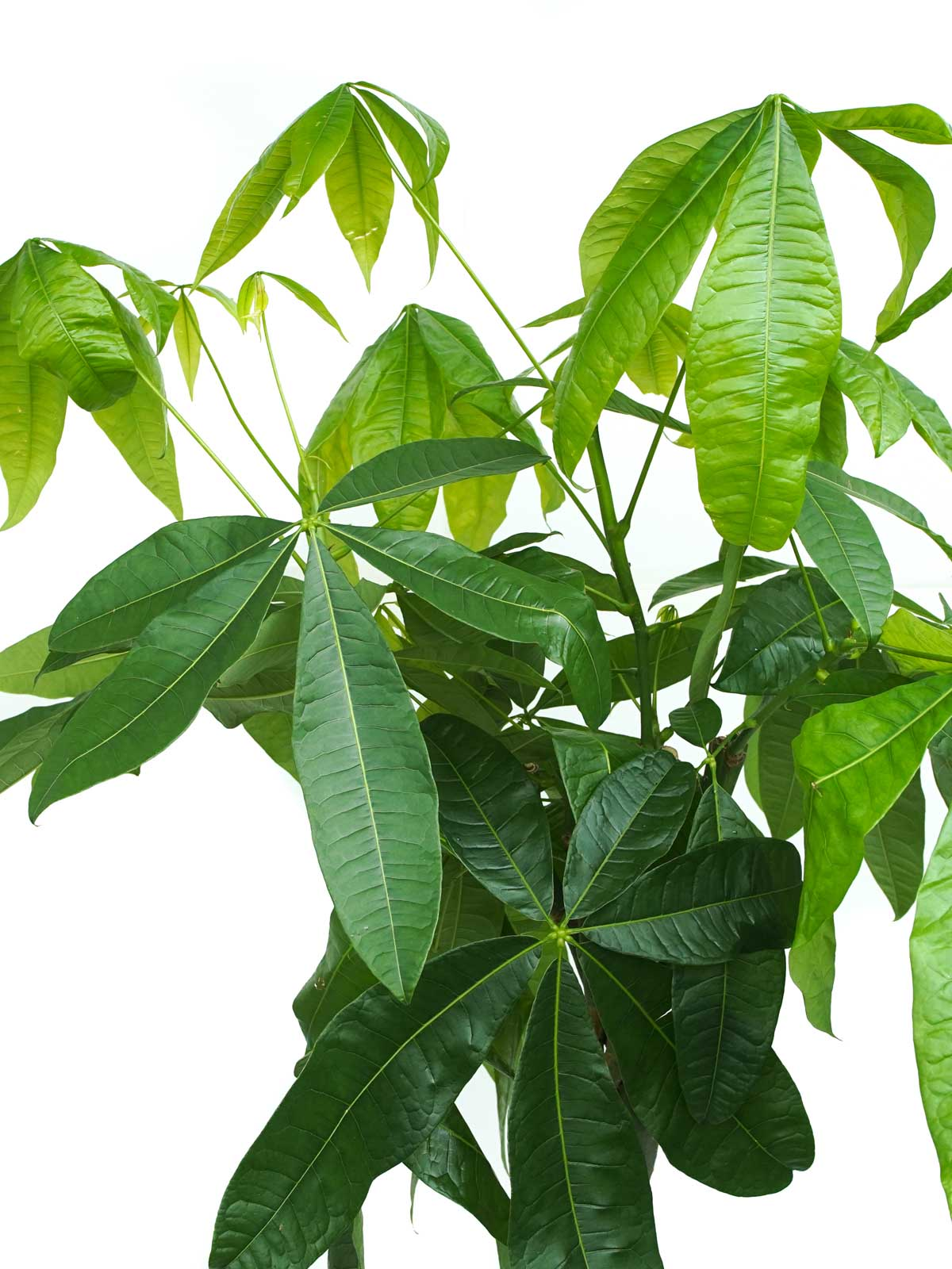 Pachira Braided Holland 'Indoor Plants Trees