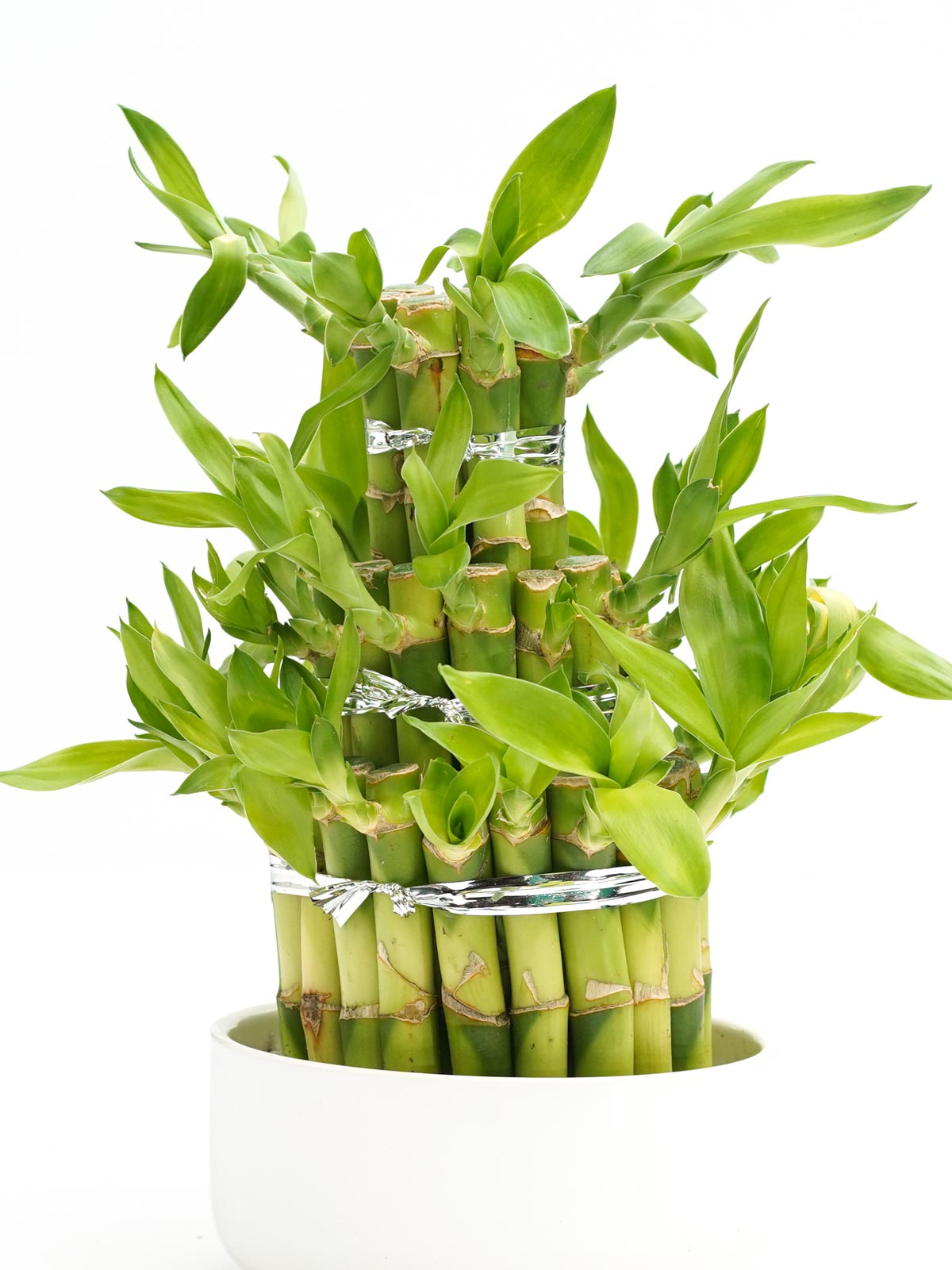 Lucky Bamboo  Indoor Plants Bamboo