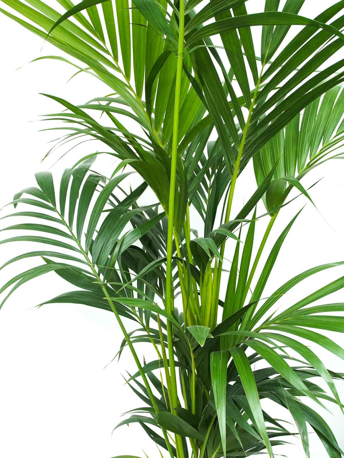 كينتيا نباتات داخلية أشجار