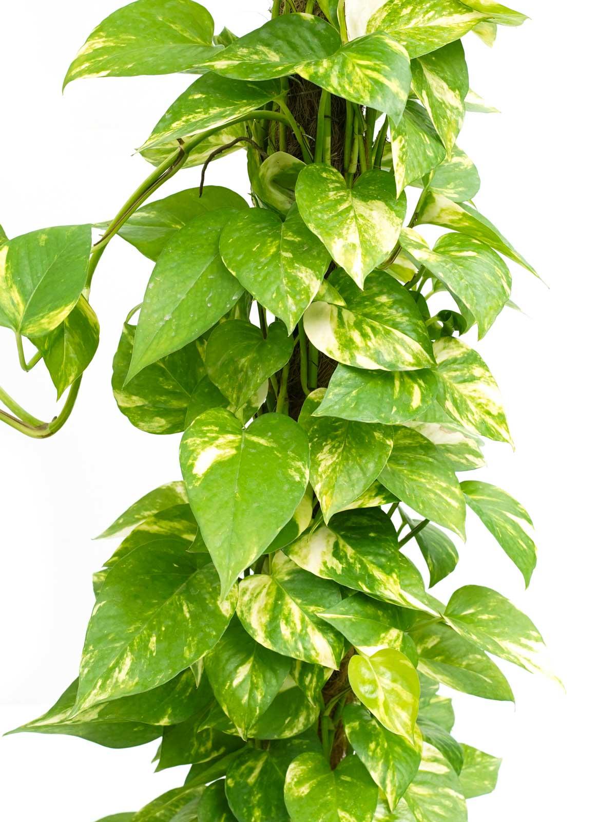 Epipremnum Scindapsus Indoor Plants Shrubs