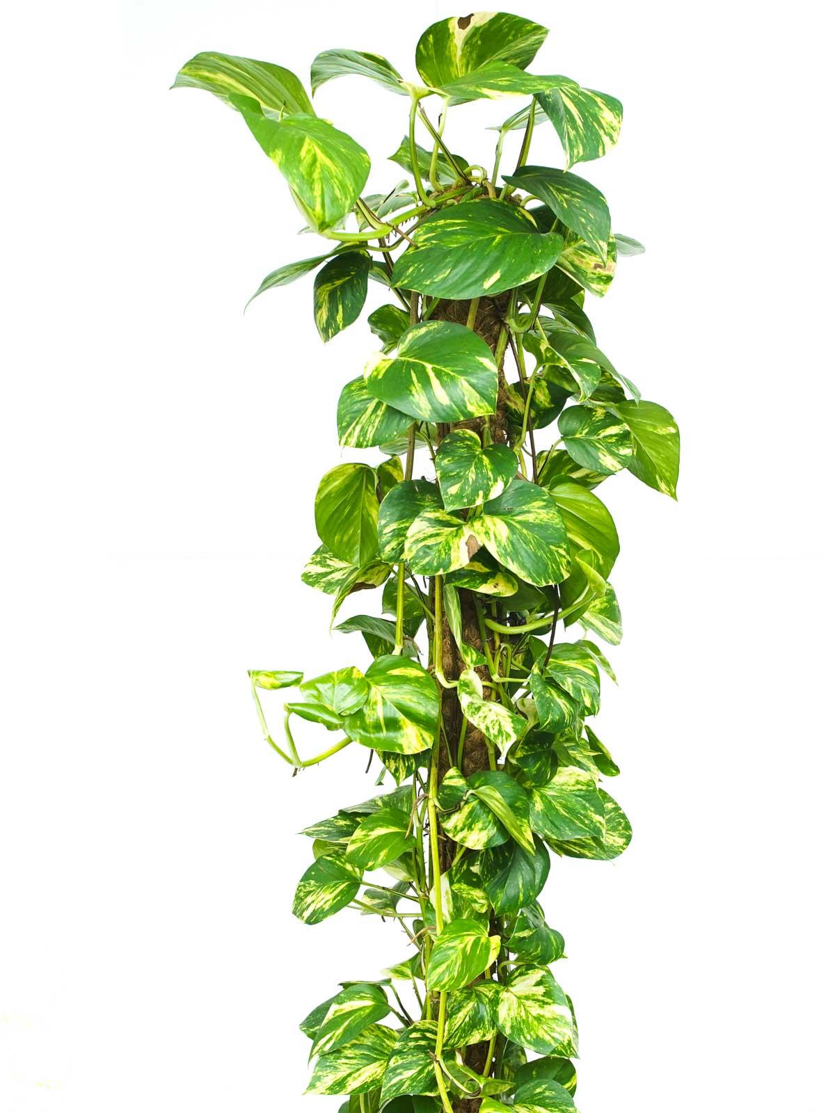 Epipremnum Mosstok Holland Indoor Plants Shrubs