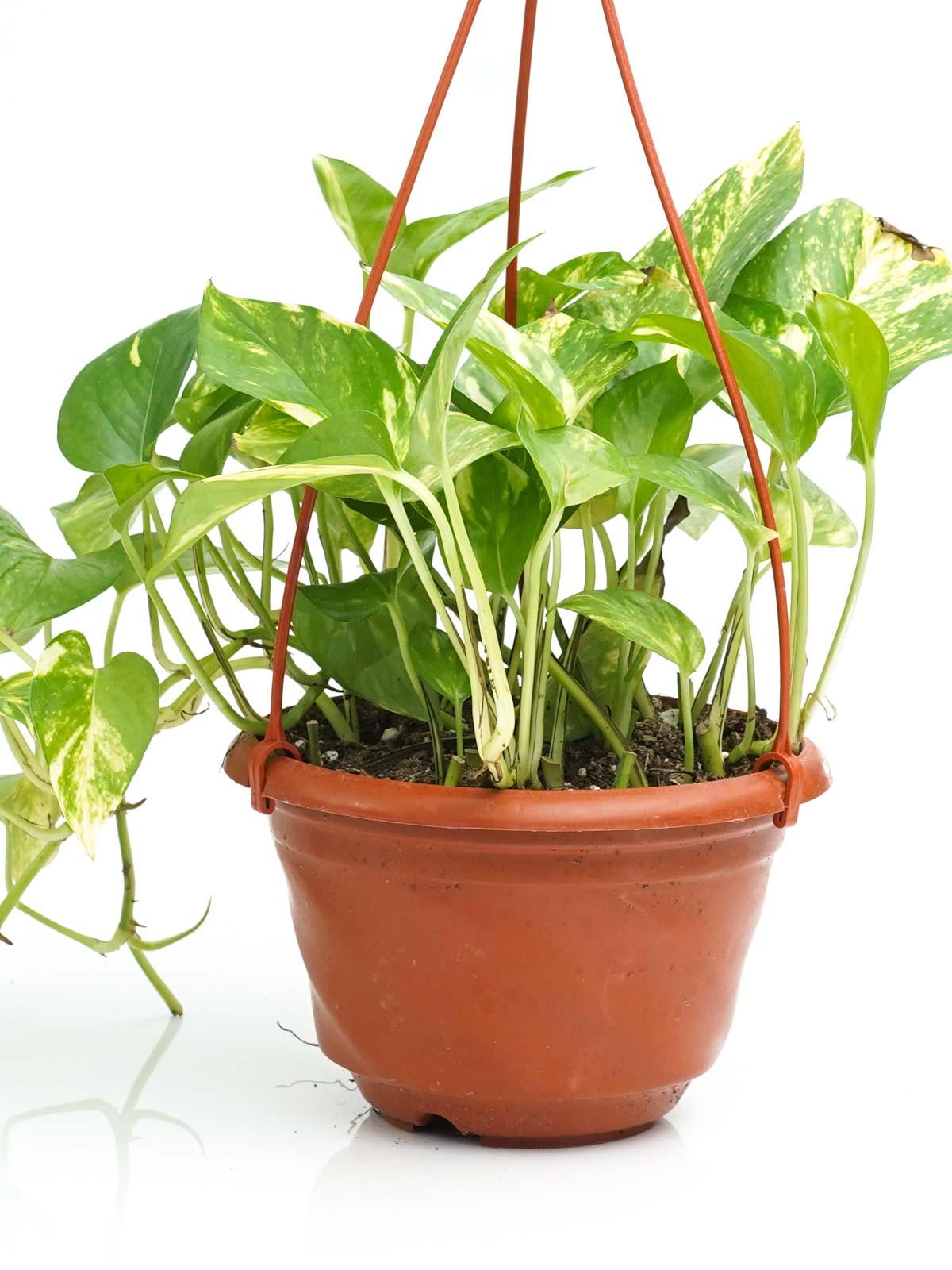 Epipremnum Scindapsus Hanging Indoor Plants Hanging