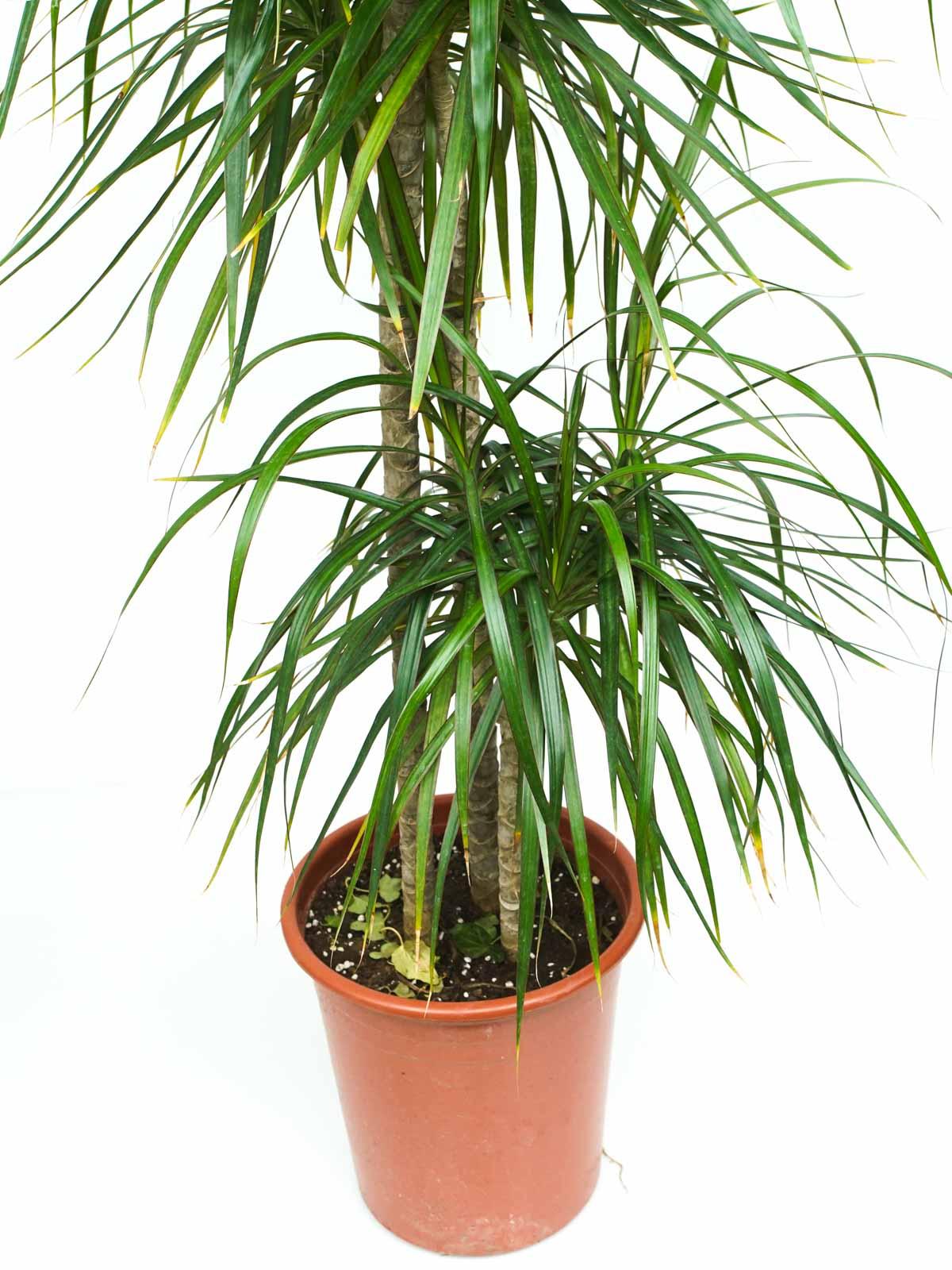 الخيزران مارجيناتا 'نباتات داخلية شجيرات