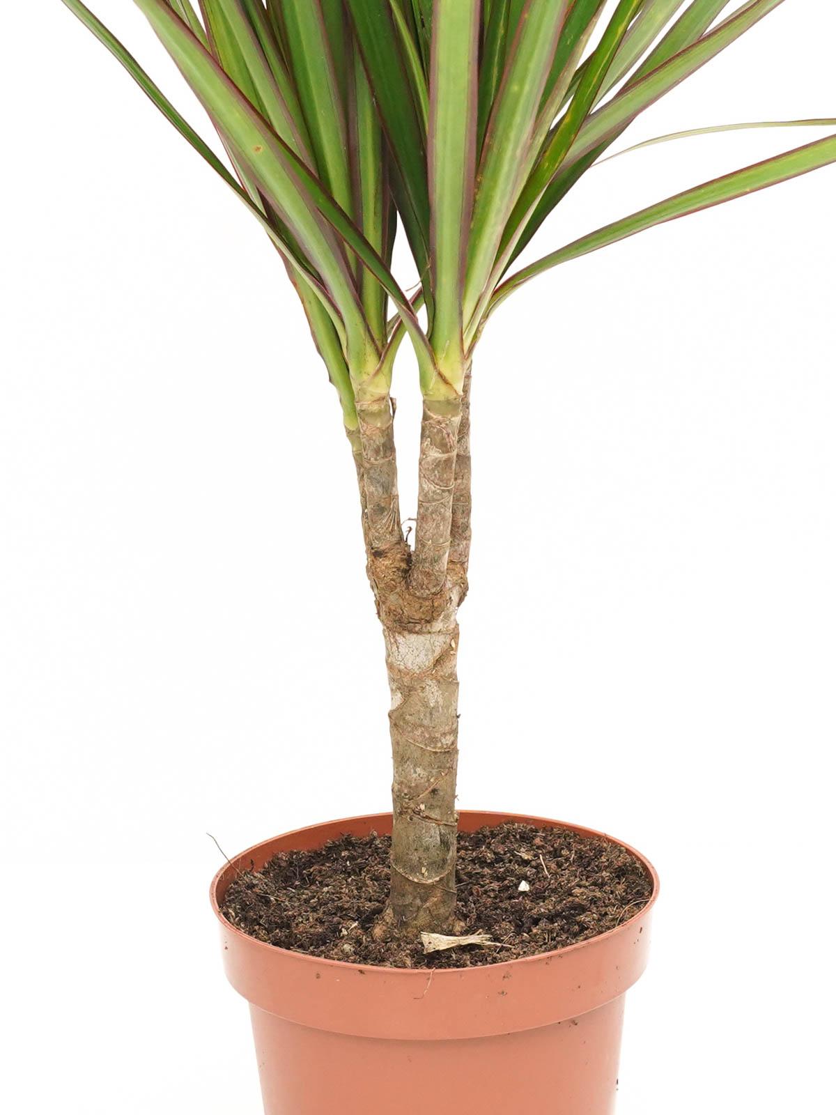 Dracaena Marginata Indoor Plants Shrubs