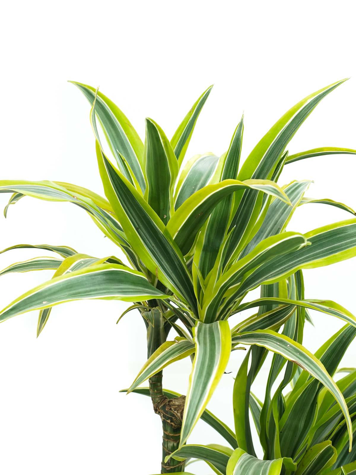 Dracaena fr Lemon Lime Indoor Plants Shrubs