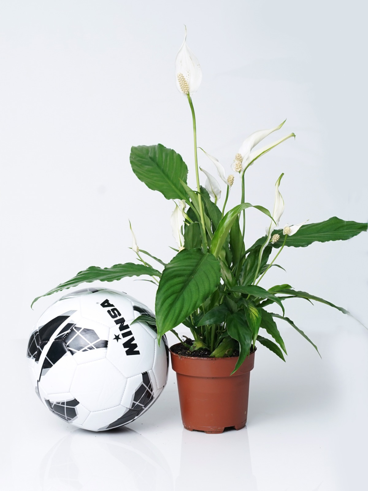 Spathiphyllum-Peace Lily 'Indoor Plants Flowering Plants
