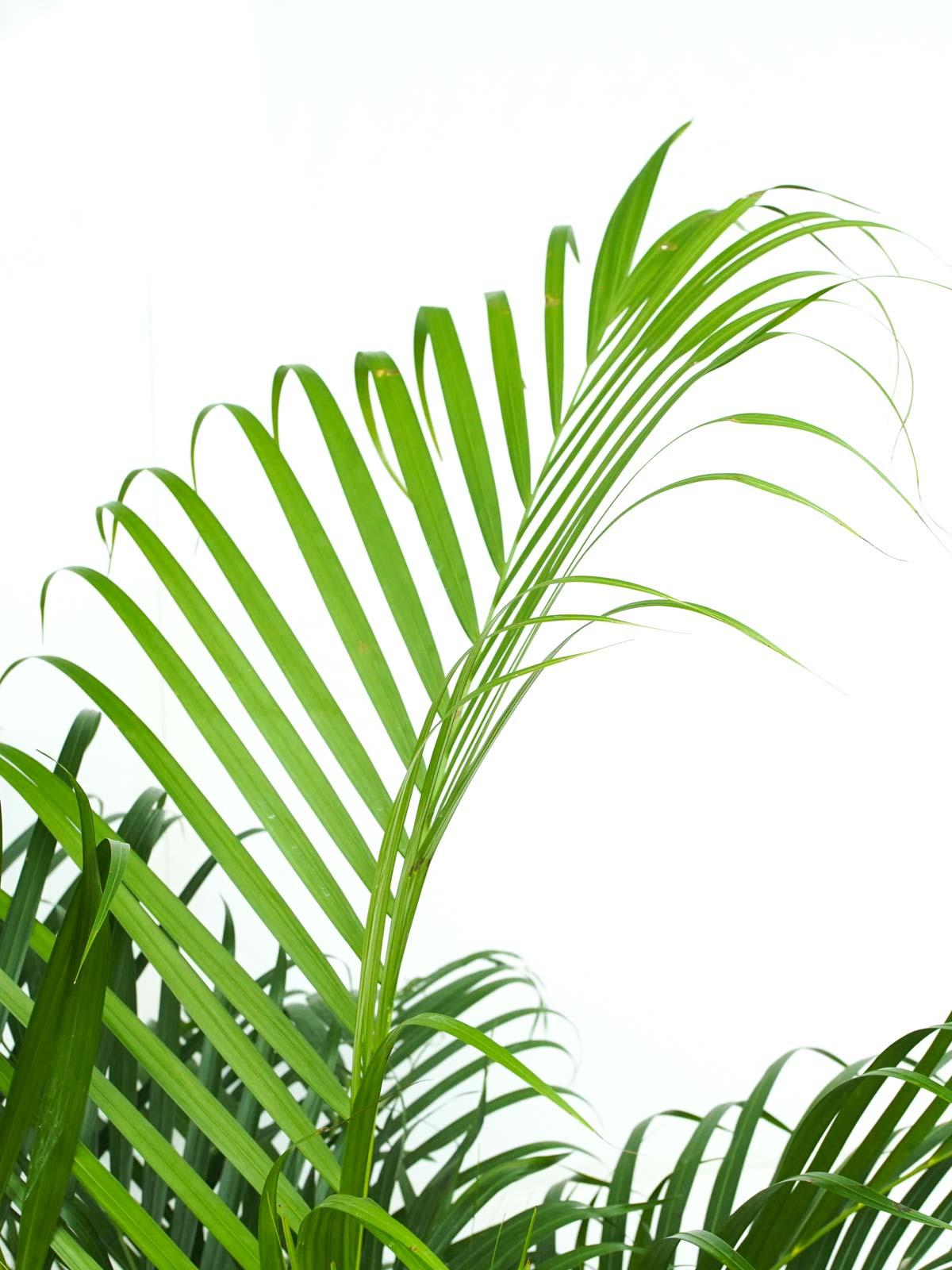 نخلة أريكا  'نباتات داخلية شجيرات