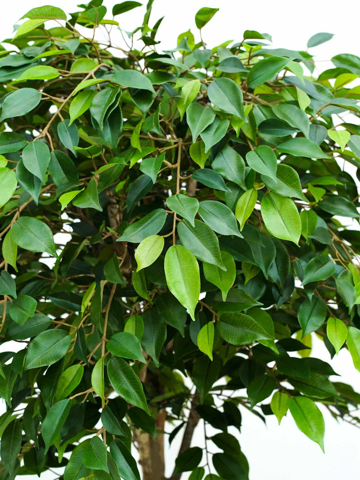 Ficus Natasja Tropical Tree Large Artificial Plants Trees