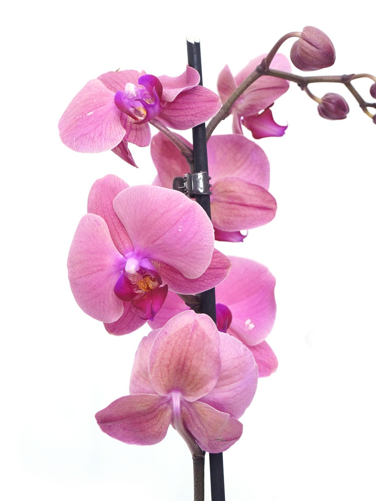 Phalaenopsis Orchidea GR Flowering Plants Indoor