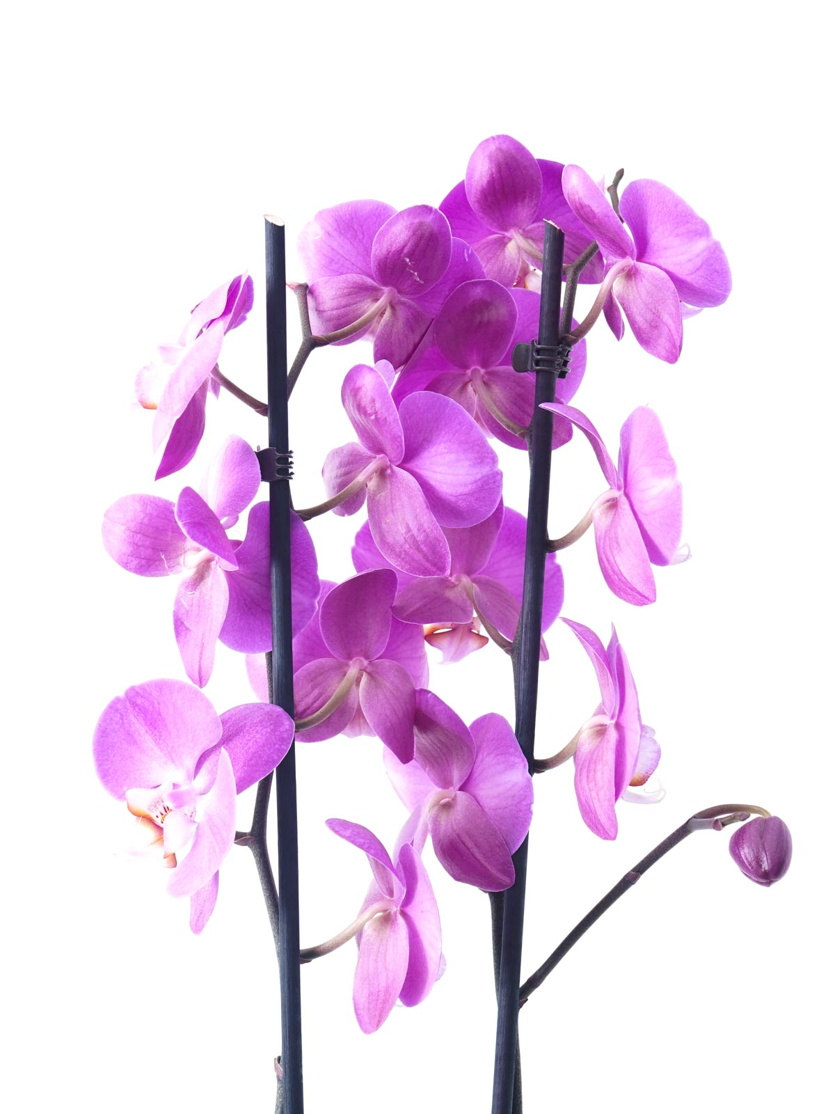 Phalaenopsis Orchid Purple Indoor Plants Flowering Plants