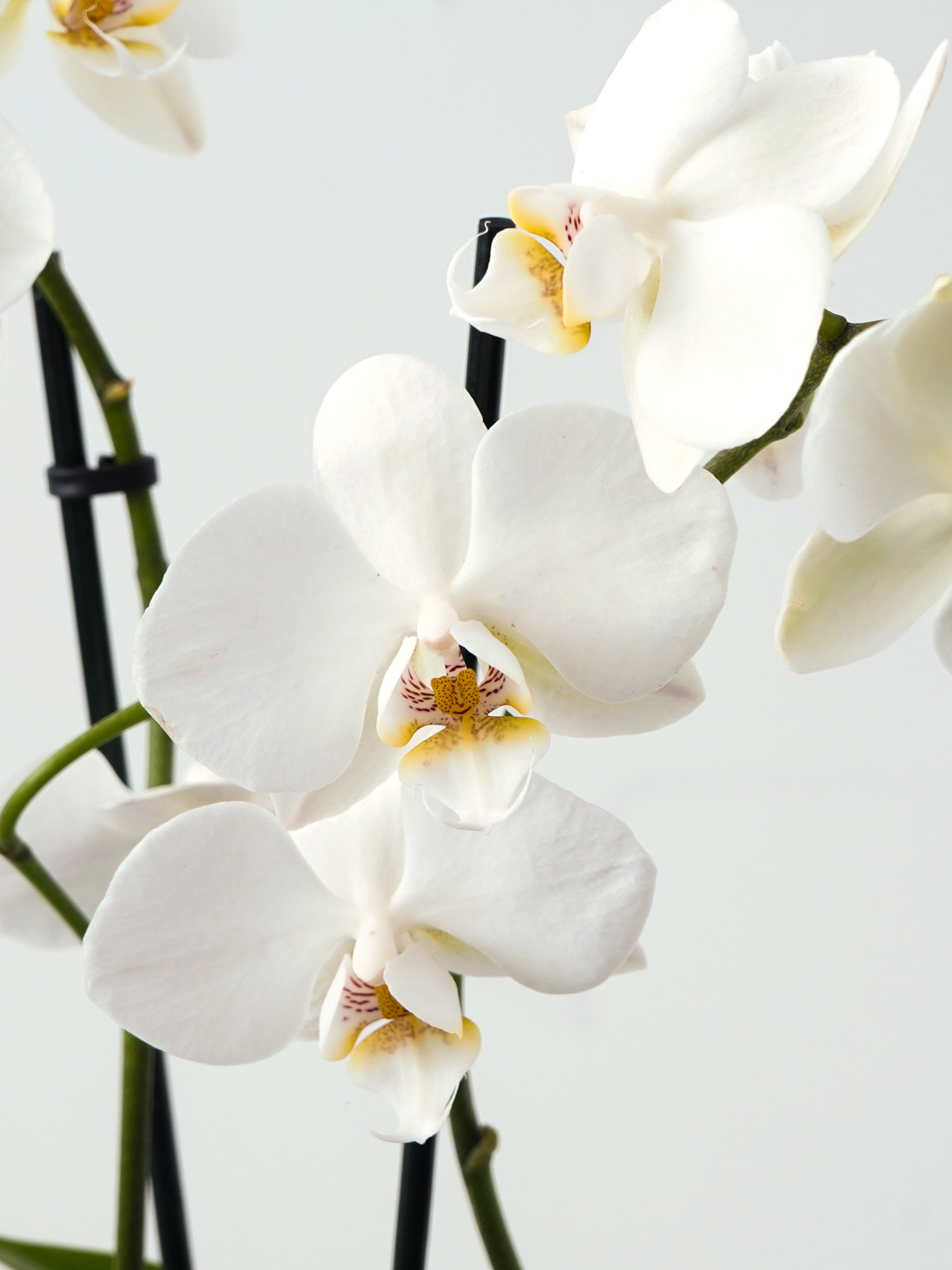 ابيض فالاينوبسيس أوركيد نباتات داخلية النباتات المزهرة