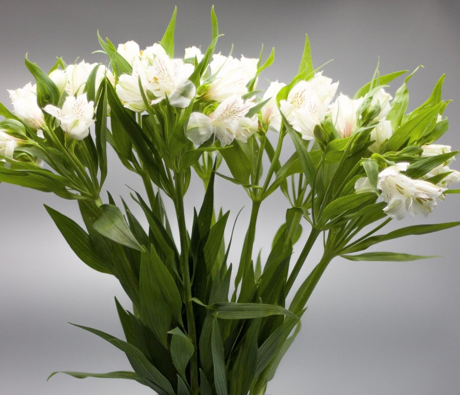 ألستروماريا أبيض ' الزهور بالجملة زهور مقطوفة