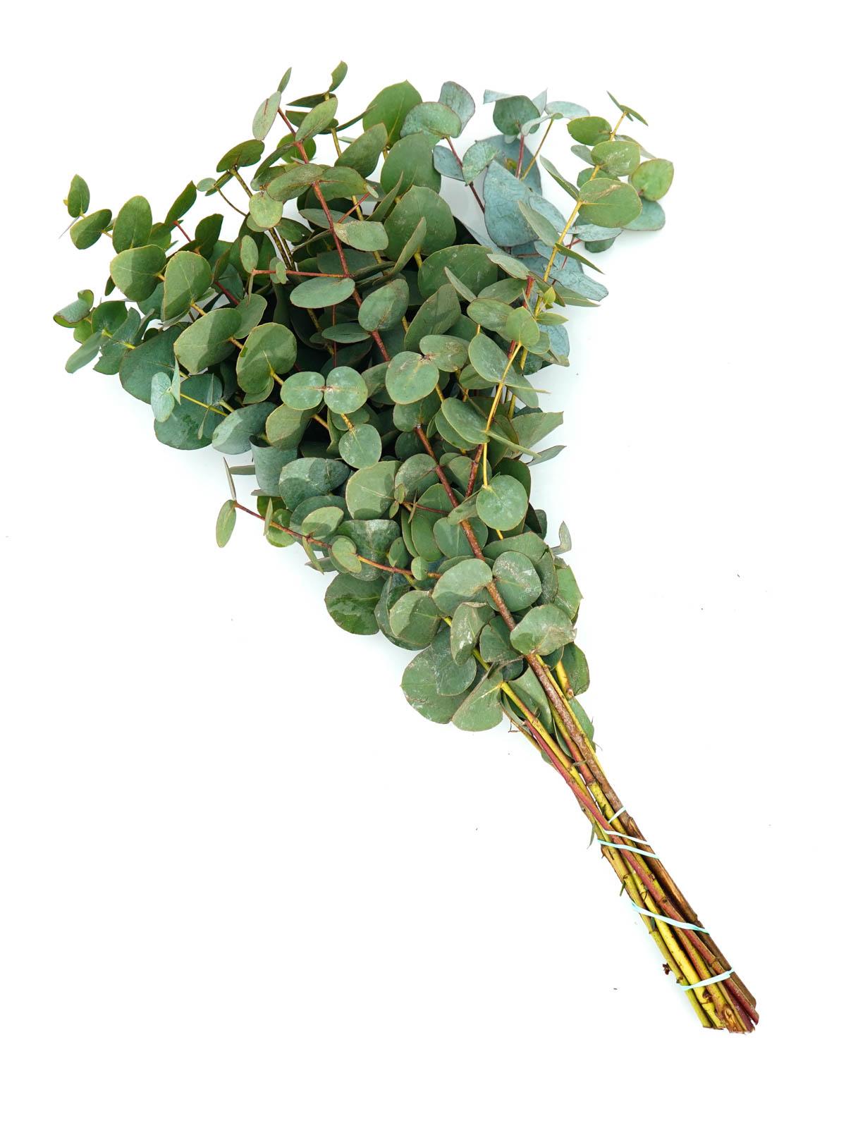 يوكاليبتوس  الزهور بالجملة زهور مقطوفة