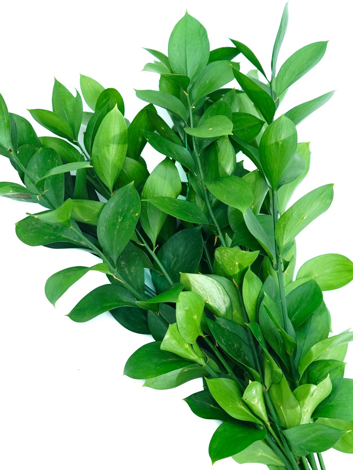 Ruscus Wholesale Flowers Cut Foliage