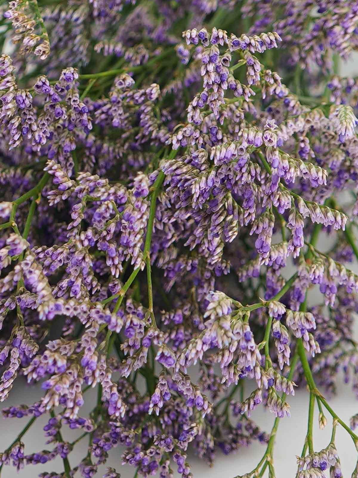 ليمونيوم بنفسجي  الزهور بالجملة زهور مقطوفة