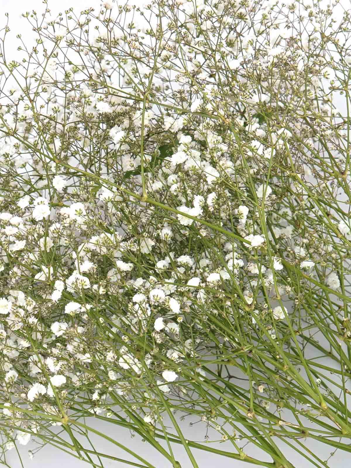Gypsophilla White 'Wholesale Flowers Cut Flowers