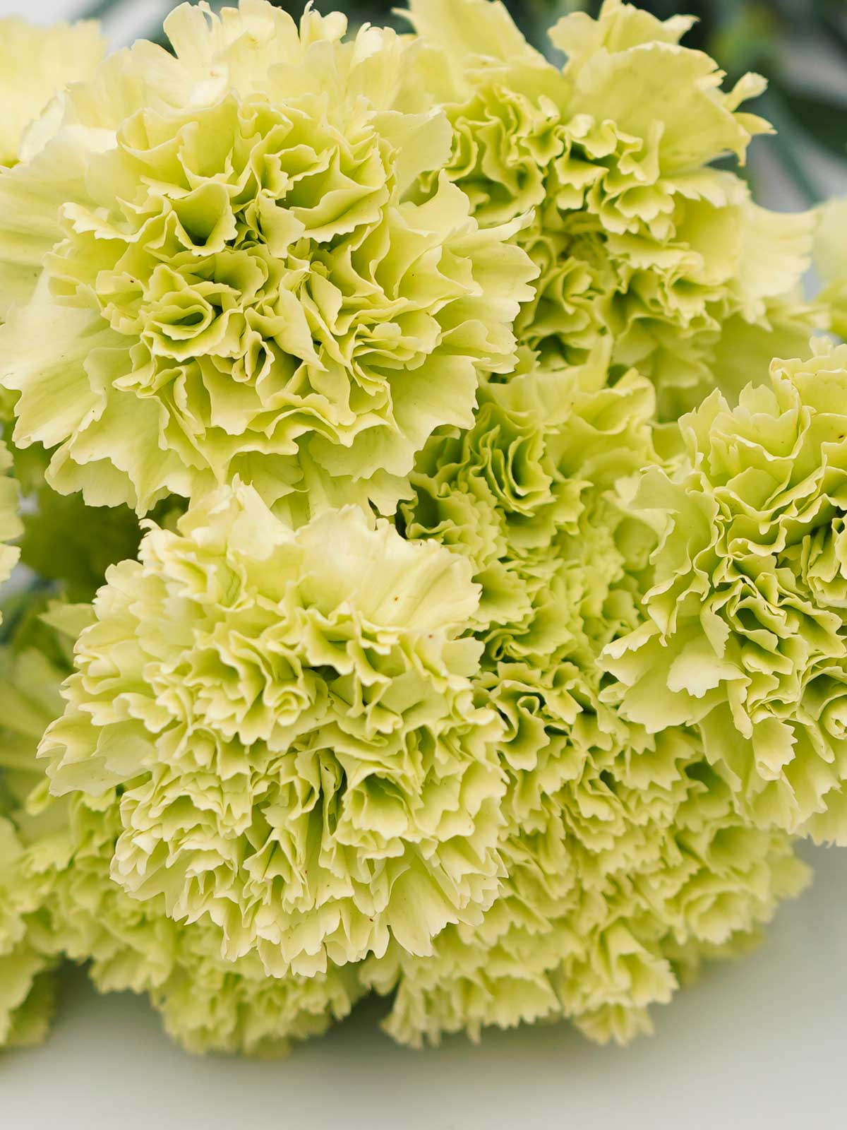 Carnation Green Wholesale Flowers Cut Flowers